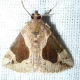 8441 Flowing-line Bomolacha Moth1 Payne's Prairie St Pk 3-20-12