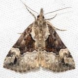 8444 Mottled Snout Moth Thunder Lake UP Mich 6-23-12