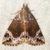 8445 White-lined Bomolocha Moth Jenny Wiley Ky 4-26-12