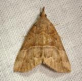 8446 Deceptive Bomolocha Moth Jenny Wiley Ky 4-26-12