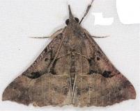 8452 Large Bomolocha Moth Lake of the Woods Ontario 7-21-16
