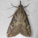 8461 Hop Vine Moth yard 4-9-13