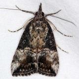 8465 Green Cloverworm Moth yard 10-27-14