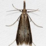 8465.97 Unidentified Hypena Moth BG Kissimmee Prairie St Pk 3-17-13