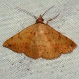8467 Hemeroplanis scopulepes Benson State Park Texas 10-16-08