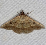 8467 Variable Tropic Moth Oscar Scherer St Pk 3-15-15