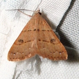 8471 Black-dotted Hemeroplanis Moth Gold Head Branch St Pk 2-16-12