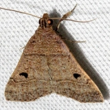 8471 Black-dotted Hemeroplanis Moth Mahogany Hammock Everglades Natl Pk 3-10-13