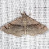 8479 Six-spotted Gray Moth yard 5-17-13