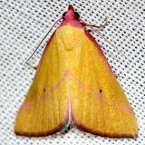 8480 Ernstine's Moth Pineland Everglades Natl Pk 3-8-13