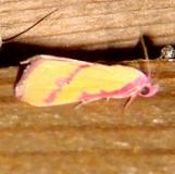 8480 Phytometra emestinana Benson State Park Texas 10-16-08