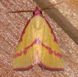 8480 Phytometra emestinana and Benson State Park Texas 10-16-08