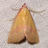 8481 Pink-Bordered Yellow Moth Gold Head Branch St Pk 2-16-12