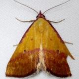 8481 Pink-bordered Yellow Moth Kissimmee Prairie St Pk 3-12-13_opt