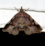 8490 Decorated Owlet Moth Ocean Pond Osceolo Natl Frst 3-25-15