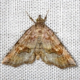 8490 Decorated Owlet Moth Thunder Lake Mich UP 6-24-13