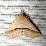 8491 Lost Owlet Moth Paynes Prairie St Pk 3-21-12