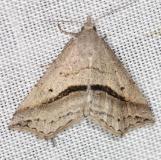 8491 Lost Owlet Moth yard 5-18-13