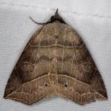 8493 Thin-lined Owlet Moth yard 6-6-14