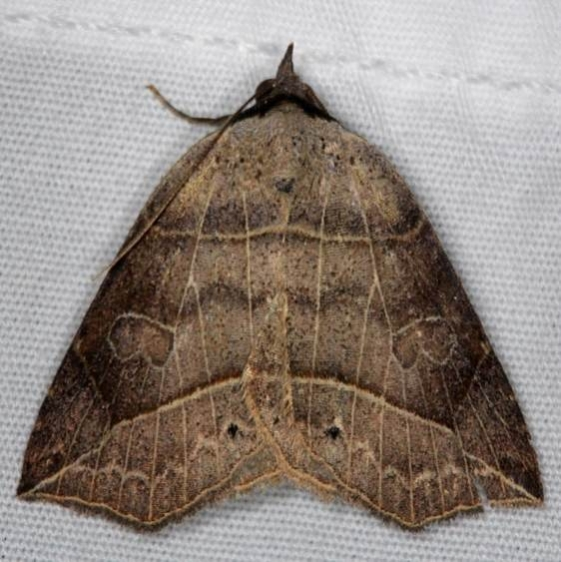 8493 Thin-lined Owlet Moth yard 6-6-14