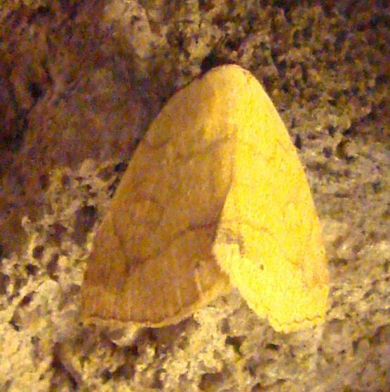 8495 Isogona punctipennis Ventana Canyon Resort Tucson Az 9-10-12