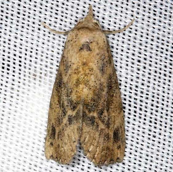 8497 Snow's Owlet Moth NABA Gardens Texas 11-3-13