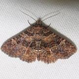 8499 Common Fungus Moth Grasshopper Lake Ocala Natl 3-15-12