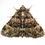8499 Common Fungus Moth yard 8-15-13