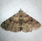 8500 Four-spotted Fungus Moth CREW Marsh Fl 3-6-12