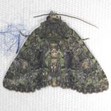 8502 Black Fungus Moth Shawnee St Pk Oh 6-15-13