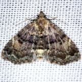 8503 Diabolical Fungus Moth Shawnee St Pk Oh 6-14-13