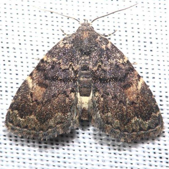 8505 Richard's Fungus Moth Jenny Wiley St Pk Ky 4-26-12