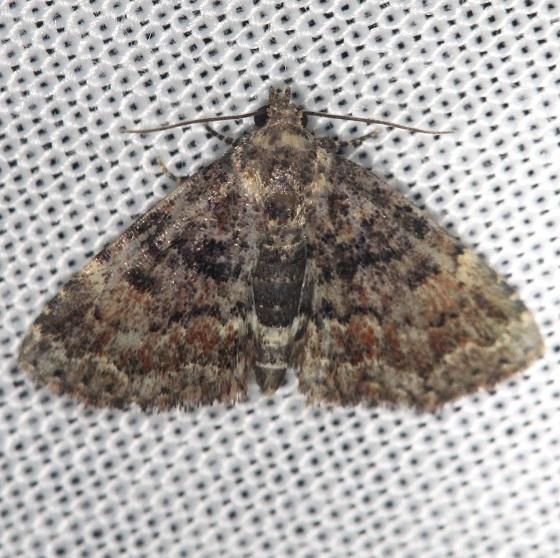 8505 Richard's Fungus Moth Shawnee St Pk Oh 6-15-13
