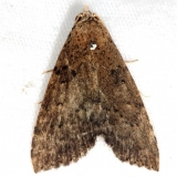 8510 Watson's Arugisa Moth Little Manetee River St Pk 3-10-15