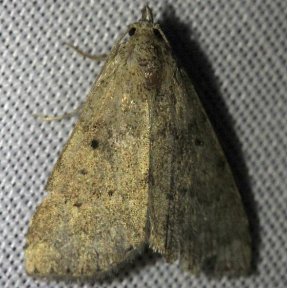 8510 Watson's Arugisa Moth Shawnee St Pk Oh 6-14-13