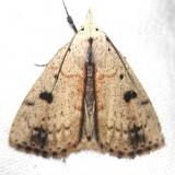8514 Dead-wood Borer Moth Obed River shed Tenn 8-26-12