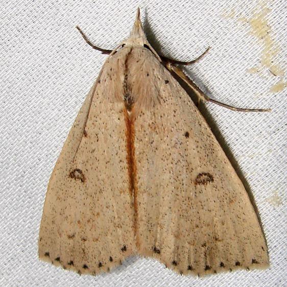 8514 Dead-wood Borer Moth Paynes Prairie St Pk 3-21-12