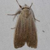 8517 Palpidia pallidior Collier-Seminole St Pk 3-6-15