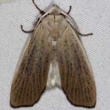 8517 Palpidia pallidior Oscar Scherer St Pk 3-12-15