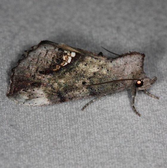 8528 Small Necklace Moth Oscar Scherer St Pk Fl 3-14
