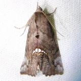 8528 Small Necklace Moth Payne's Prairie St Pk Fl 3-20-12