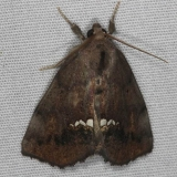8528 Small Necklace Moth yard 7-12-14