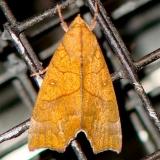 8545 Yellow Scallop Moth yard 9-22-08