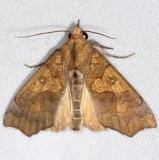 8546 Tropical Anomis Moth Little Manetee River St Pk Fl 3-8-15