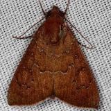 8551 Okra Leafworm Moth NABA Gardens Texas 11-3-13