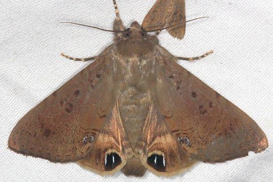 8556 Palmetto Borer Moth Mahogany Hammock Everglades 3-1-15