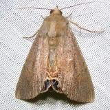 8556 Palmetto Borer Moth Payne's Prairie St Pk Fl 3-20-12