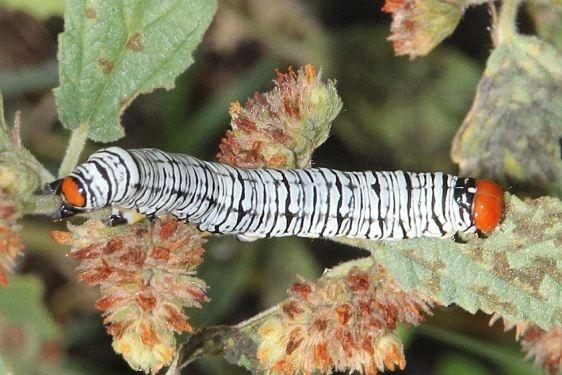8560 Hieroglyphic Moth Caterpillar Falcon St Pk Butterfly garden Texas 10-28-16_opt
