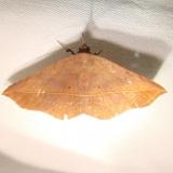 8573 Variable Metalata Moth Kissimme Prairie St Pk 3-10-12