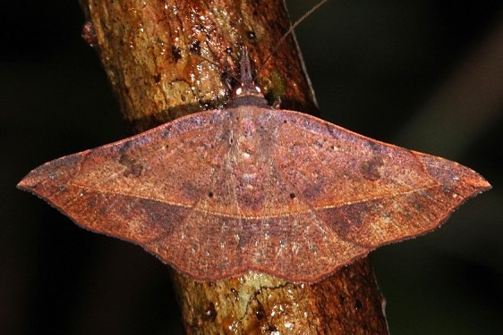 8573 Variable Metallata Moth Lucky Hammock near Everglades 2-27-15